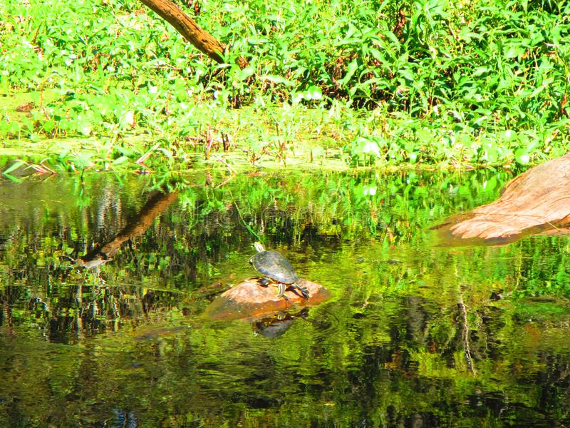 Turtle rests on a rock, along the bank of a florida river. A turtle rests on a rock at the water`s edge along the bank the withlachoochee river, near Inverness stock images