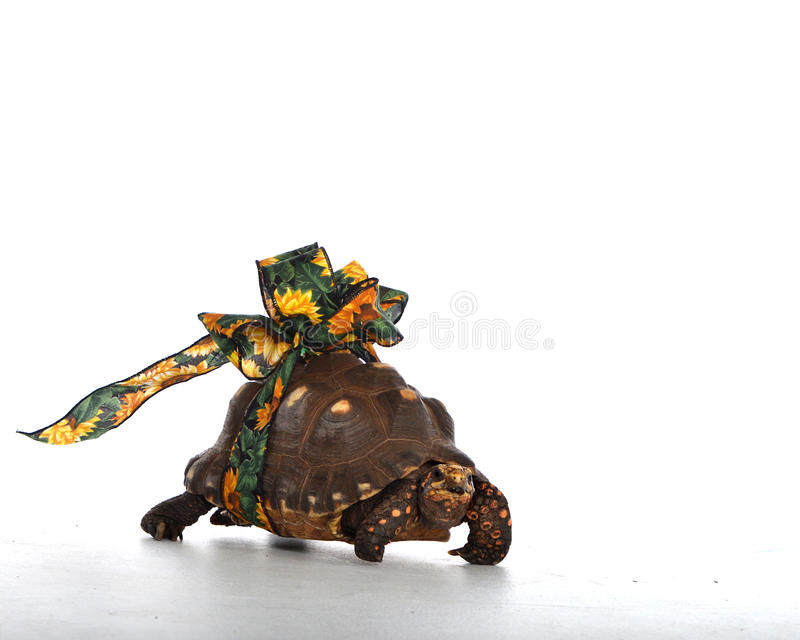 Turtle with ribbon royalty free stock photography