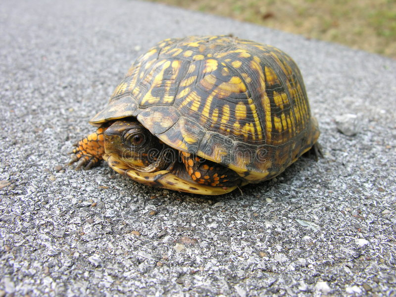 Turtle in the road stock photo