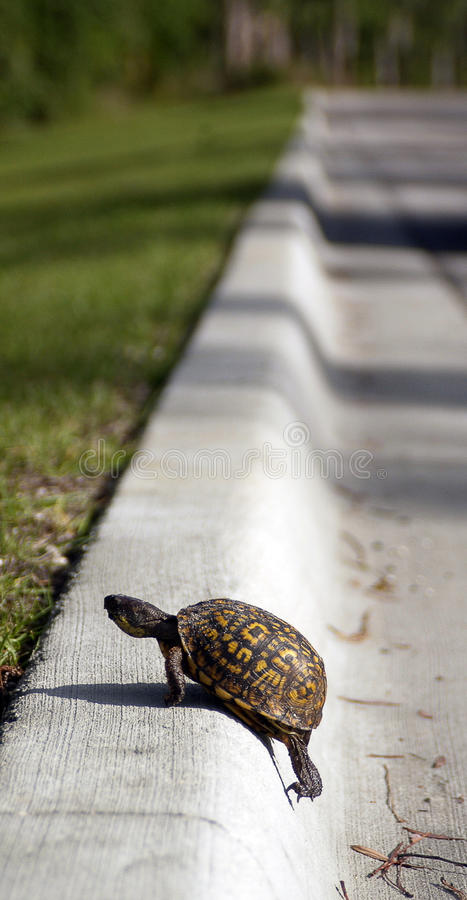 Turtle Roadside Curb Stock Image Image Of Overcoming