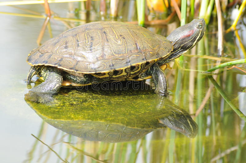Turtle On Rock Royalty Free Stock Photo