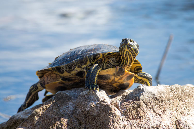 Turtle on rock. With blue water in background stock photos