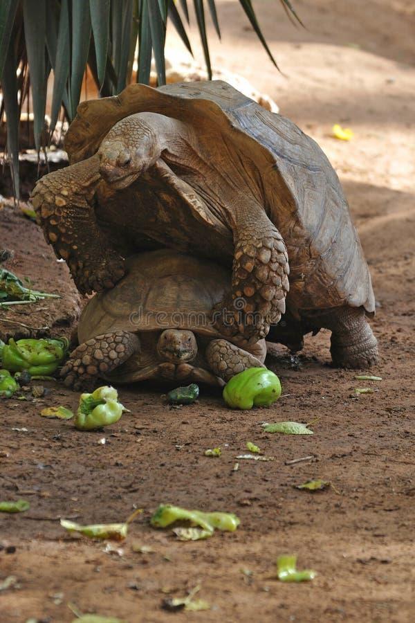 Turtle's procreation royalty free stock photos