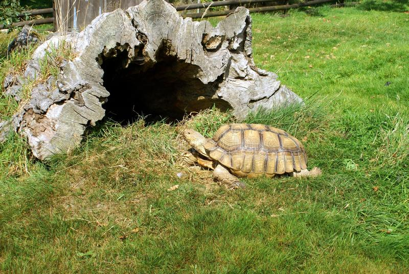 Turtle in a safari park, England. Turtles are reptiles of the order Testudine or Chelonii characterised by a special bony or cartilaginous shell developed from royalty free stock image