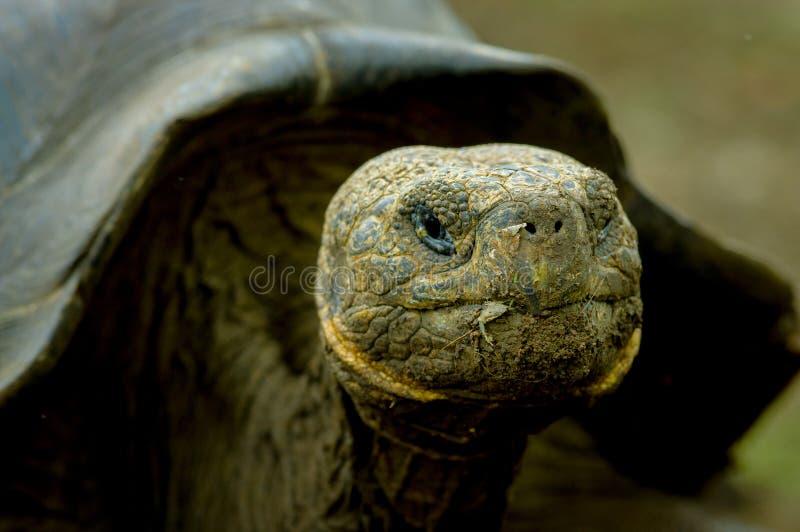 Turtle in san cristobal galapagos islands. Closeup portrait galapagos turtle in san cristobal galapagos ecuador stock photo
