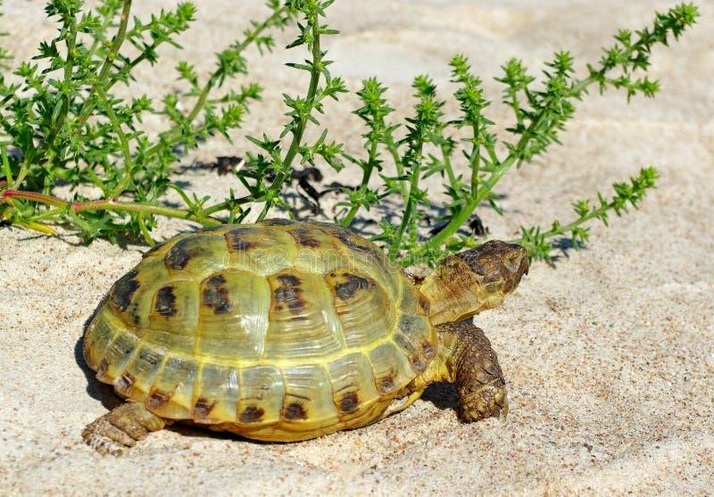 Turtle on the sand. stock photos