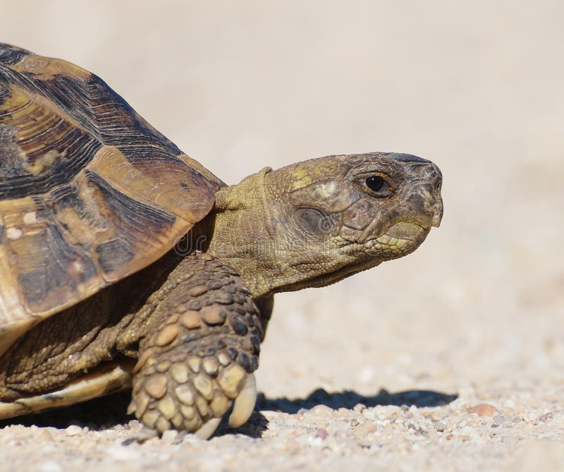 Download Turtle On Sand, Testudo Hermanni Stock Photography - Image: 25329822