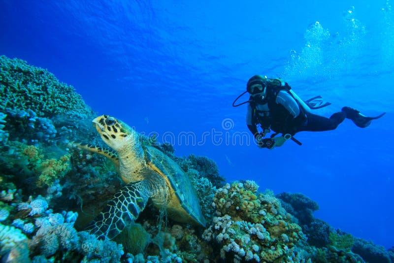 Turtle and Scuba Diver. A woman scuba diver observes a Hawksbill Turtle