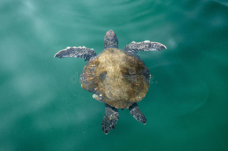 Turtle. Sea turtle in pacific sea royalty free stock photos