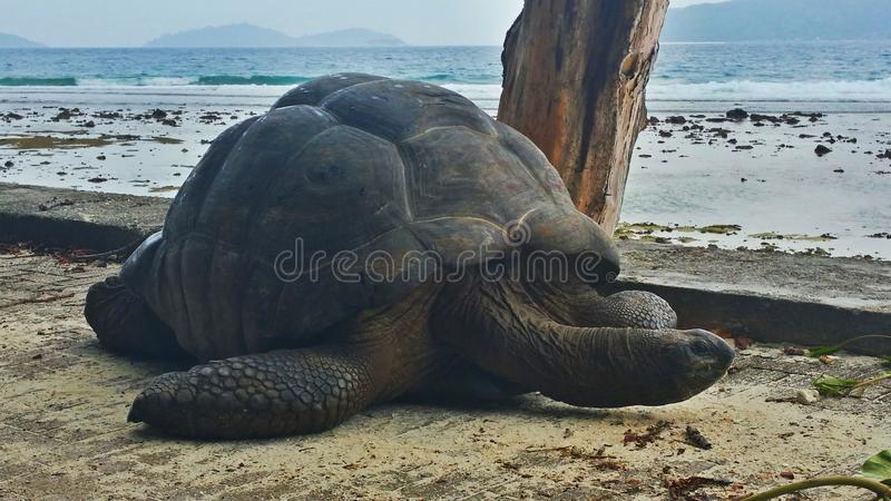 Turtle on seychelles royalty free stock images