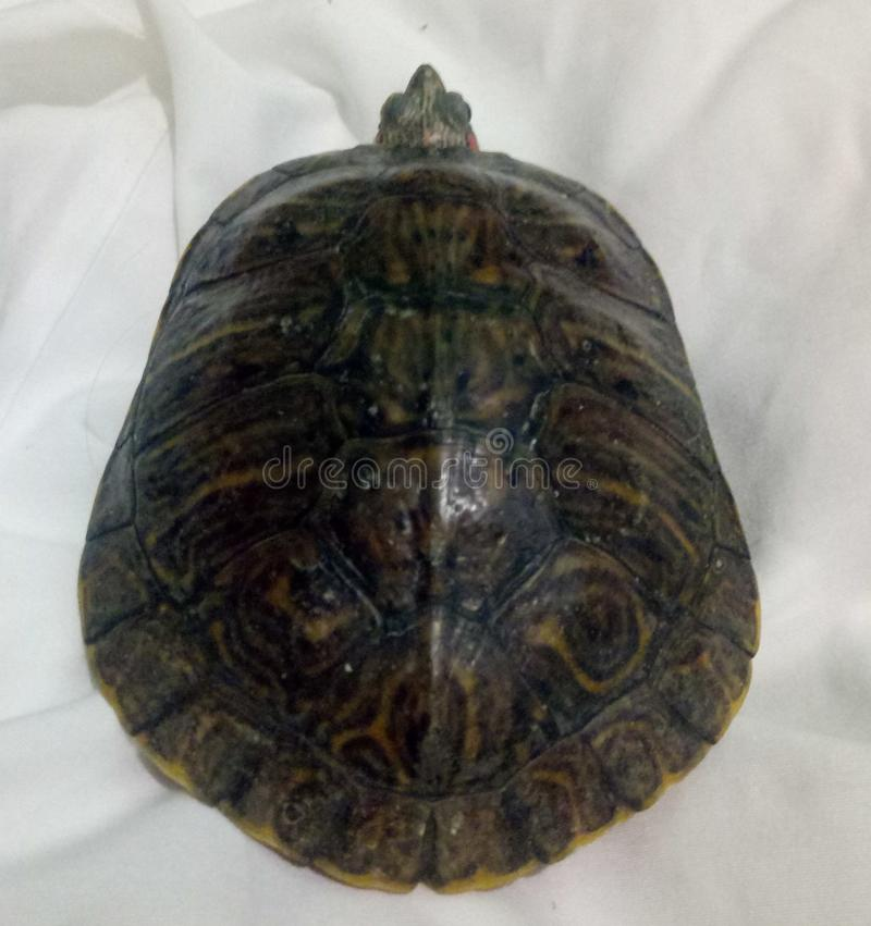 Turtle in shell. Close up of upper turtle shell with face on white stock photo
