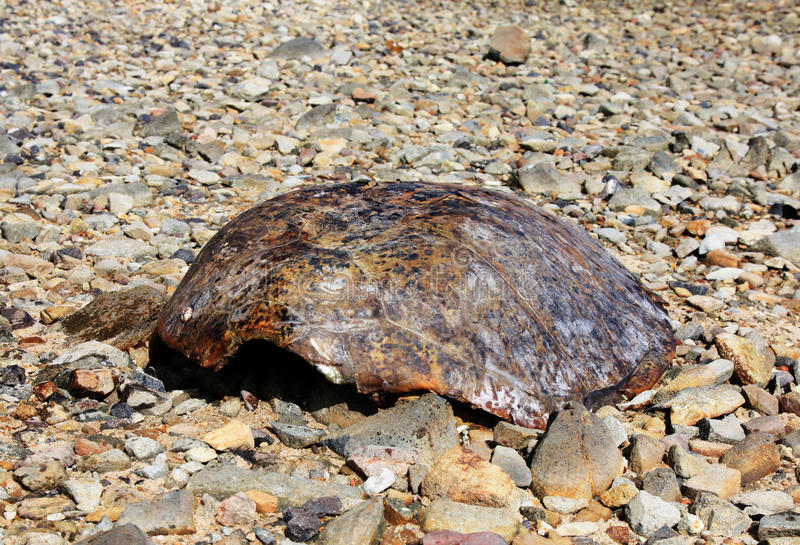 Turtle shell. Found on beach on Thursday Island Torres Straits Australia royalty free stock photography
