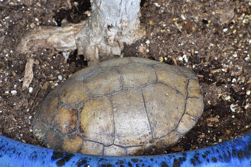 Turtle shell surrounded by soil in a blue pot. Turtle shell in a blue pot with soil and a plant stock photos