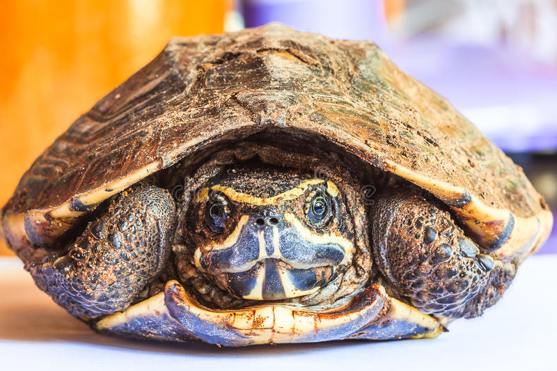 Turtle in the shell. Turtle withdraw back it's head in the shell stock photos