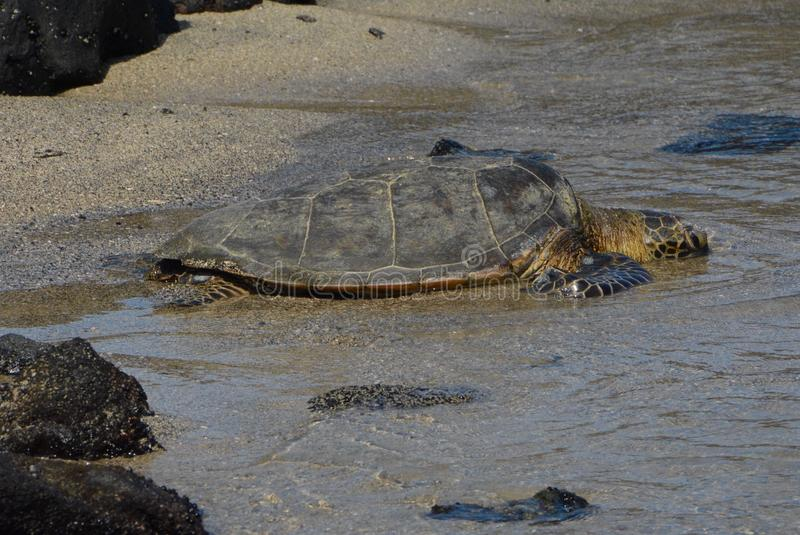 Big Sea Turtle In Shallow Water Of Ocean Stock Image