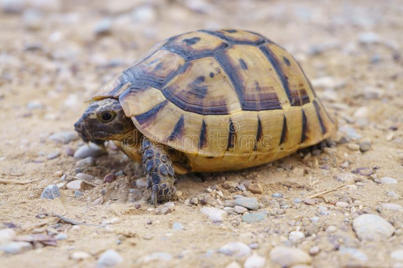 Turtle crawling on the pebbles. Turtle slowly crawling on the pebbles closeup stock photo