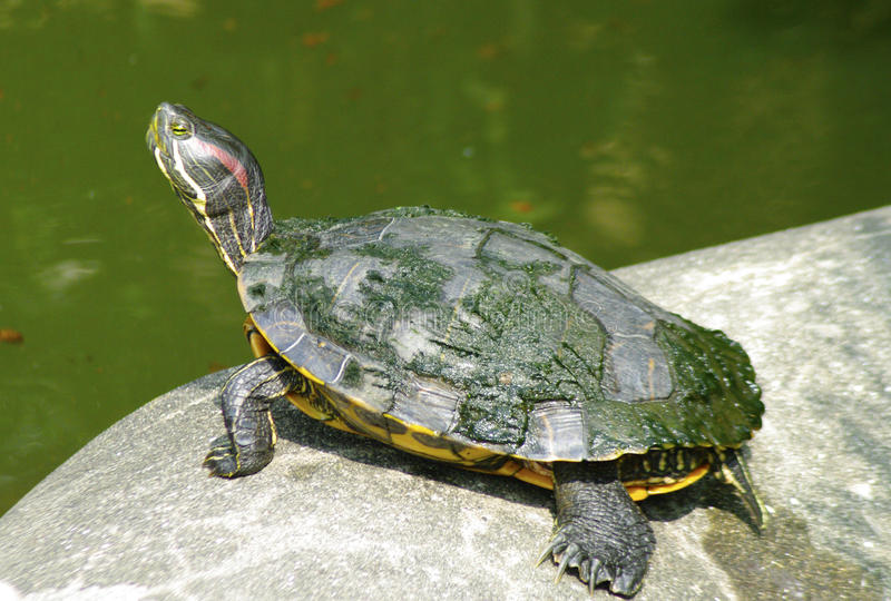 Turtle on the stone stock photography