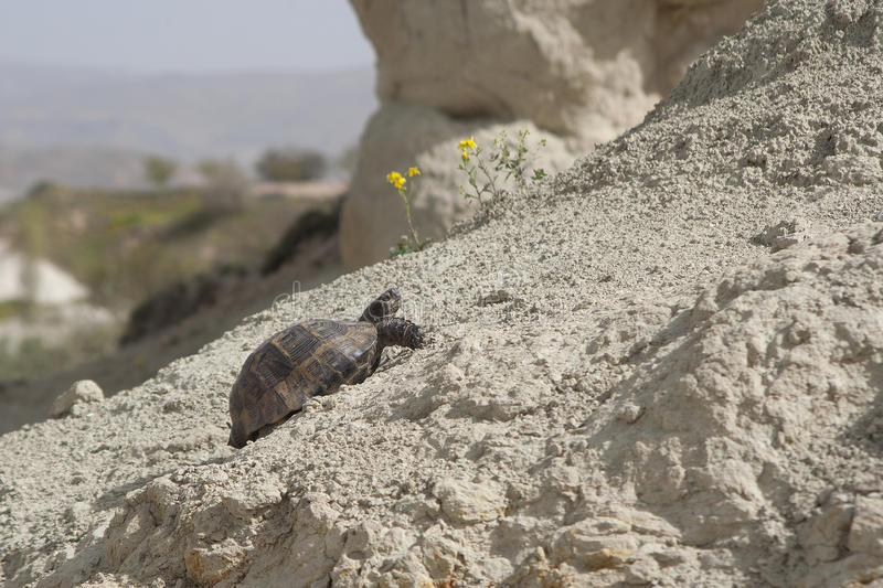 A turtle stubbornly moving up the hill in sunny day. Turkey stock images