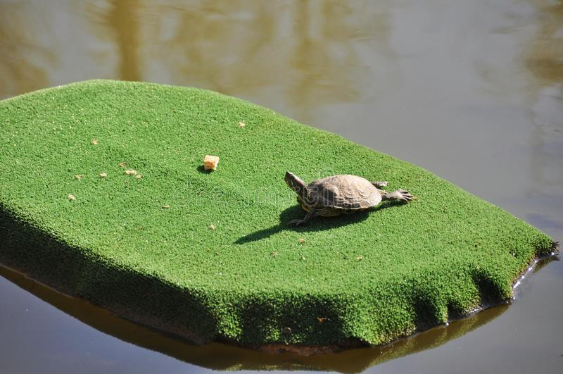 Turtle sunbathing stock image