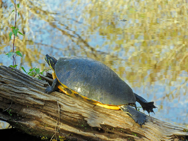 Turtle sunning itself on a log royalty free stock image