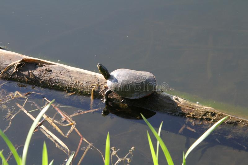 A turtle sunning itself on a log stock images