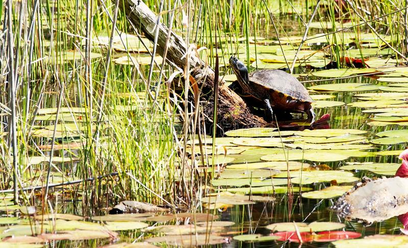 A turtle sunning on a log in a lily covered pond. royalty free stock images