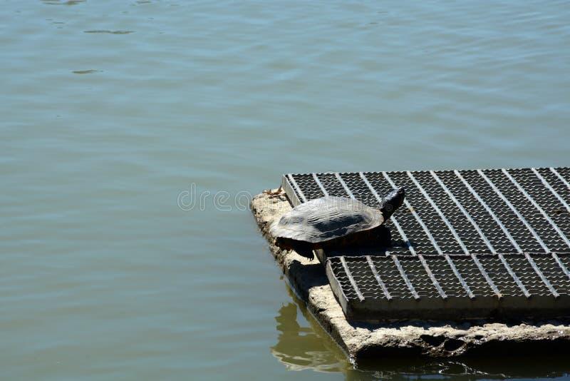 Turtle sunning stock photos