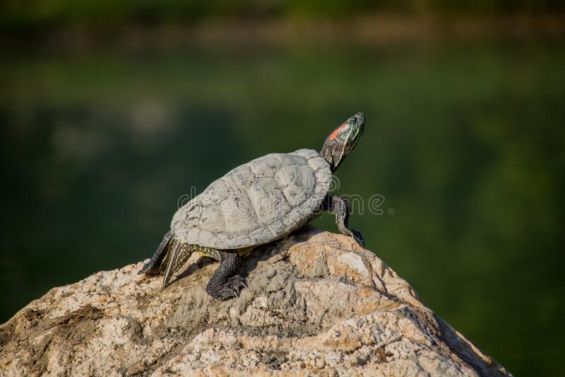 Turtle at sunny morning. stock images