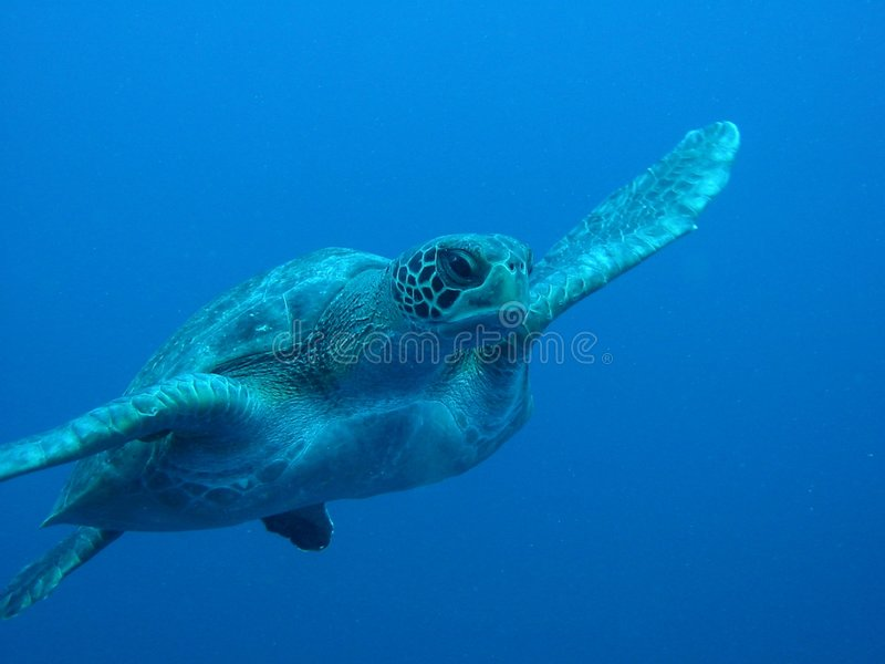 Download Turtle Swimming stock image. Image of head, paddle, mydas - 8772751