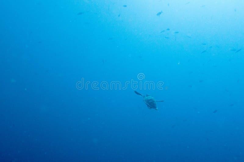 Turtle swimming away in open ocean stock images