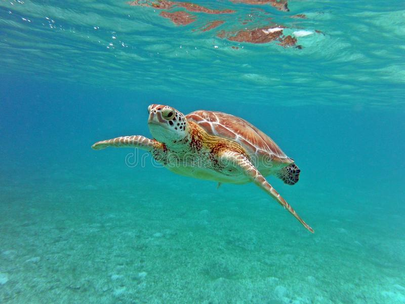 Turtle Swimming view underwater pacific ocean stock photos