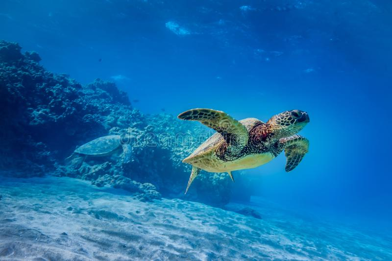 Turtle swimming through coral royalty free stock photo