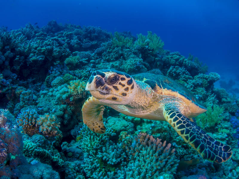 Turtle swimming over coral reef royalty free stock photography