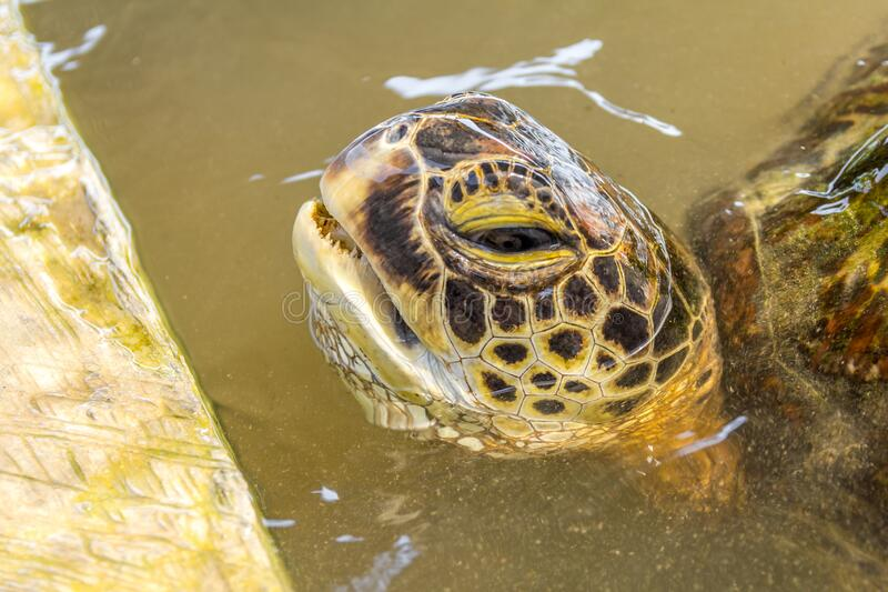 Turtle swimming on the surface. A turtle swimming on the surface royalty free stock photos
