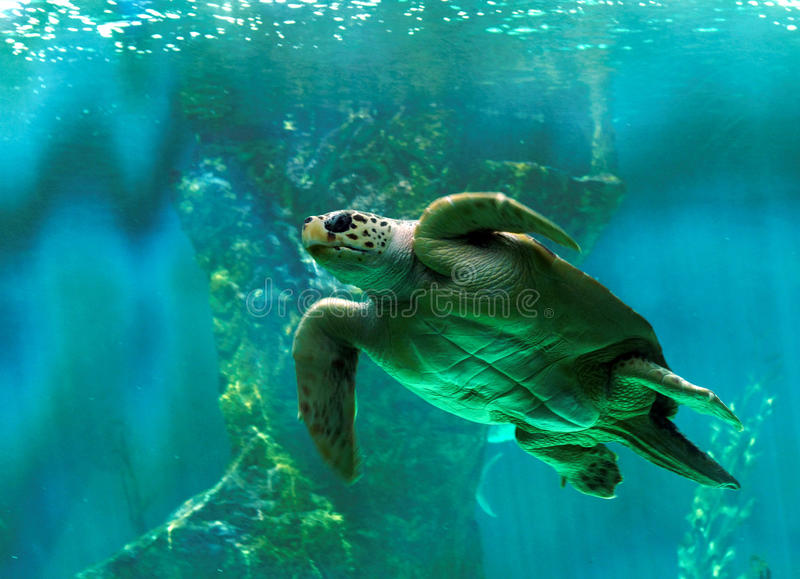 Turtle swimming underwater royalty free stock photo