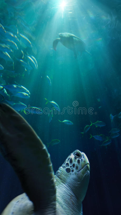 Turtle swimming underwater royalty free stock images