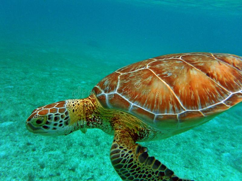 Turtle Swimming view underwater pacific ocean stock photography