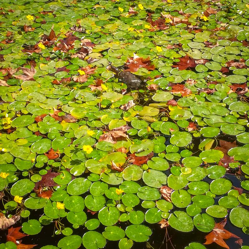 Turtle swimming in waterlily pond royalty free stock photo