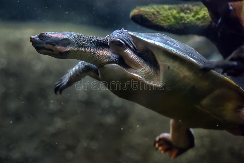 Turtle swims under water royalty free stock images