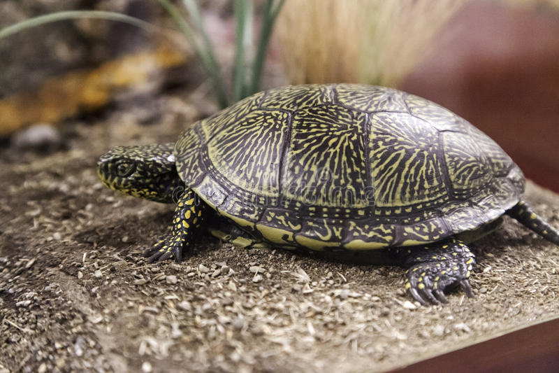Turtle in terrarium royalty free stock images