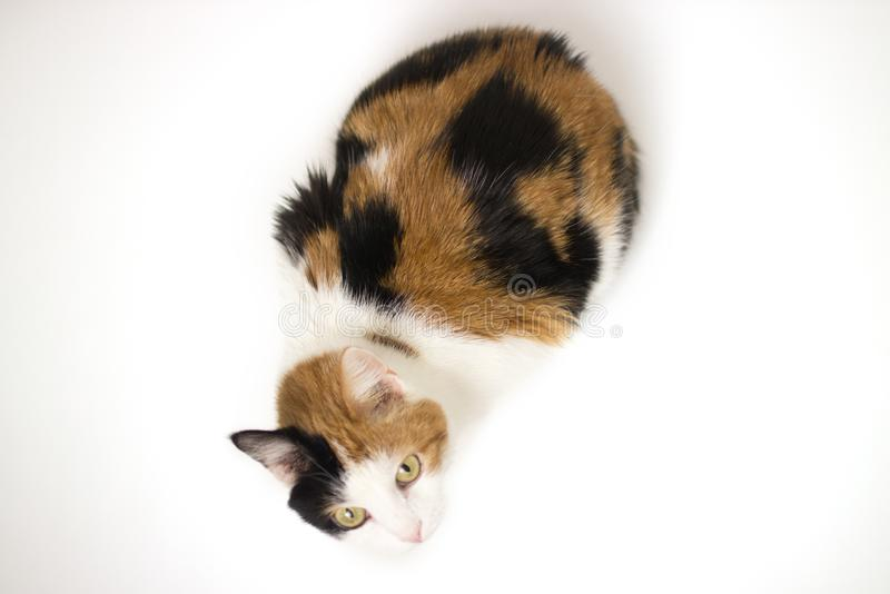 Turtle three color young cat on white backround stock photography