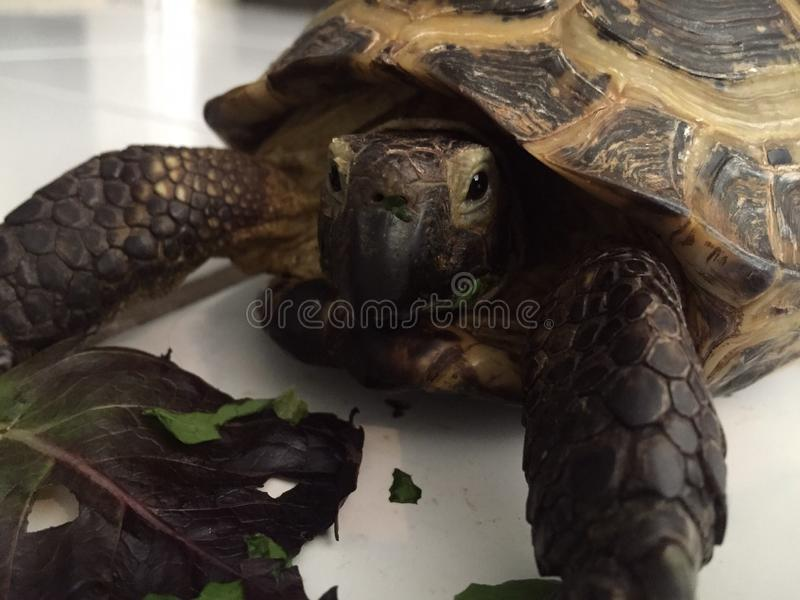 Turtle time royalty free stock photography