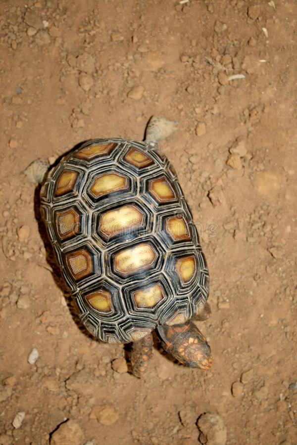 Download Turtle top view stock image. Image of land, footed, animal - 23540739
