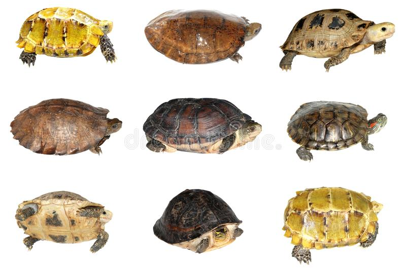 Turtle and tortoise. Set isolated in white royalty free stock photos