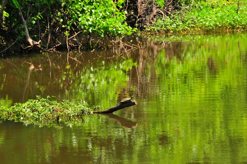 Turtle on Tree Branch in River at Horton Slough stock image