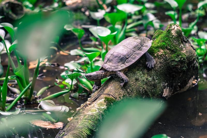 Turtle in the tree in the tropical forest of Vietnam. stock photo