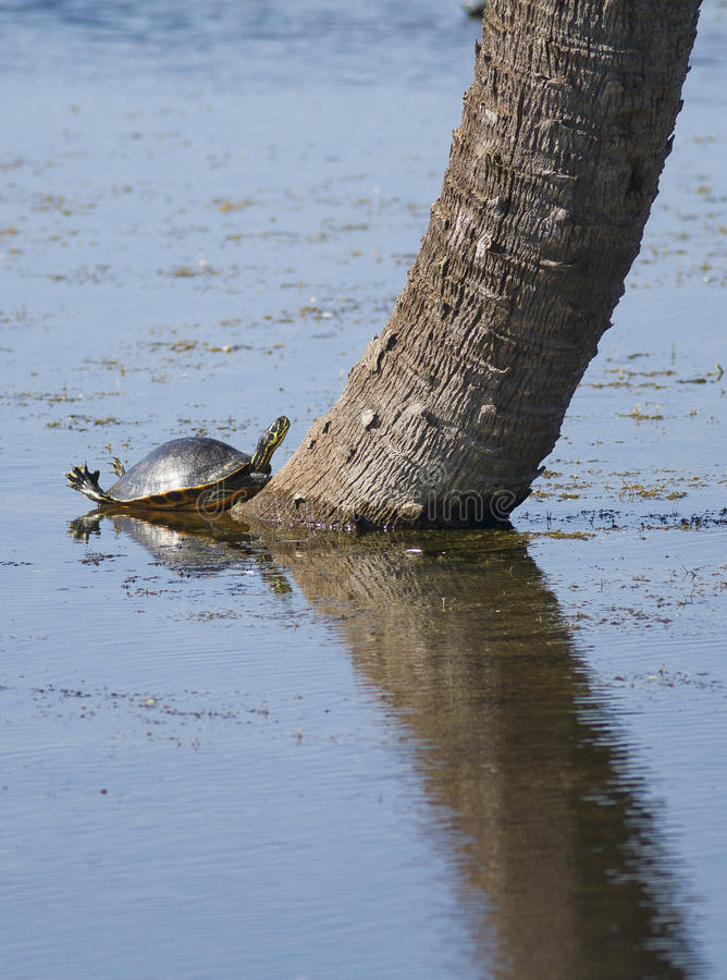 Turtle on tree trunk in lake. Turtle resting on tree trunk in lake stock photos