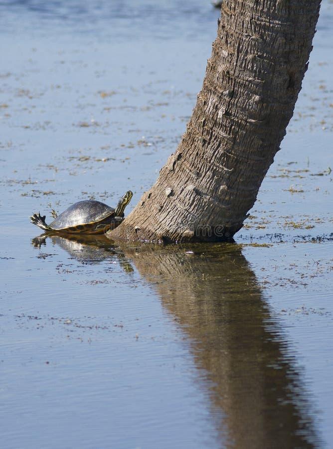 Download Turtle On Tree Trunk In Lake Stock Image - Image of single, reptilian: 34355113