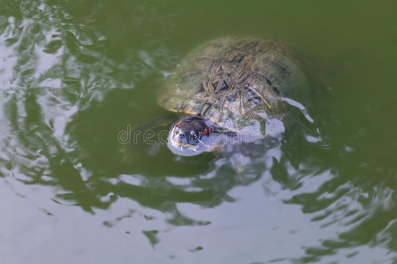 Turtle, Turtles floating swam on the surface water, Freshwater turtle Selective focus royalty free stock photos