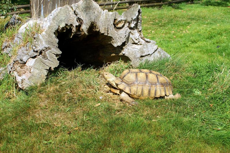 Turtle. S are reptiles of the order Chelonii or Testudines characterised by a special bony or cartilaginous shell developed from their ribs and acting as a royalty free stock photos